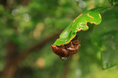 Το cicada κοχύλι Στοκ Εικόνες
