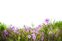 Το clandestina Ruellia tuberosa Ruellia είναι ιώδη λουλούδια Στοκ φωτογραφία με δικαίωμα ελεύθερης χρήσης