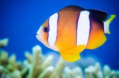 Το clarkii Amphiprion του Clark anemonefish κολυμπά γύρω Στοκ Εικόνες
