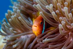 Το Clownfish, ένα ψάρι anemone αντιμετωπίζει να κοιτάξει αδιάκριτα μέσω των πλοκαμιών ενός anemone θάλασσας Στοκ Φωτογραφία