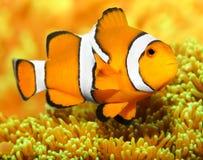 Το Clownfish (ocellaris Amphiprion). Στοκ Φωτογραφίες
