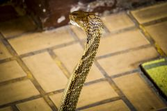 Το cobra διέδωσε την κουκούλα στοκ φωτογραφίες