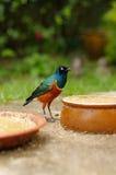 Το Colourfull λίγο πουλί στο έδαφος μεταξύ της τροφής καλύπτει στη Κουάλα Λουμπούρ Birdpark, Μαλαισία Στοκ Εικόνες