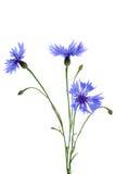 Το cornflower που απομονώνεται όμορφο στο λευκό Στοκ εικόνες με δικαίωμα ελεύθερης χρήσης