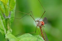 Το cranefly Στοκ φωτογραφία με δικαίωμα ελεύθερης χρήσης
