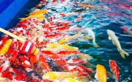 Το Crap ή χρωματισμένο Crap ή Nishikigoi ή Koi, τα ζωηρόχρωμα φανταχτερά ψάρια ταΐστηκαν τα τρόφιμα και το γάλα από το μπουκάλι μ Στοκ Φωτογραφίες