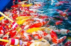 Το Crap ή χρωματισμένο Crap ή Nishikigoi ή Koi, τα ζωηρόχρωμα φανταχτερά ψάρια ταΐστηκαν τα τρόφιμα και το γάλα από το μπουκάλι μ Στοκ εικόνες με δικαίωμα ελεύθερης χρήσης