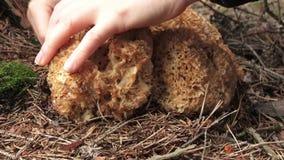 Το crispa Sparassis μανιταριών Dible στη δασική γυναίκα Α συλλέγει τα μανιτάρια απόθεμα βίντεο