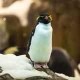 Το Cristate penguin προσέχει δραστήρια στο ζωολογικό κήπο Tenerife, Ισπανία Στοκ εικόνα με δικαίωμα ελεύθερης χρήσης