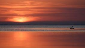 Το cristatus Podiceps πουλιών κολυμπά στο ηλιοβασίλεμα Στοκ εικόνα με δικαίωμα ελεύθερης χρήσης