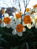 Το Daffodils που ανθίζει την άνοιξη η ηλιόλουστη ημέρα Στοκ Φωτογραφίες