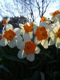Το Daffodils που ανθίζει την άνοιξη η ηλιόλουστη ημέρα Στοκ εικόνες με δικαίωμα ελεύθερης χρήσης