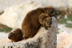 Το Daman (Hyraxes) κάθεται σε έναν βράχο Στοκ εικόνα με δικαίωμα ελεύθερης χρήσης