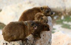 Το Daman (Hyraxes) κάθεται σε έναν βράχο Στοκ εικόνες με δικαίωμα ελεύθερης χρήσης