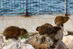 Το Daman (Hyraxes) κάθεται σε έναν βράχο Στοκ Εικόνα