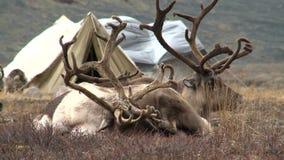 Το Deers βρίσκεται σε ένα στρατόπεδο σκηνών tundra απόθεμα βίντεο