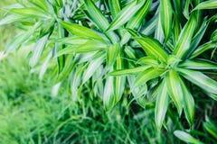 Το Dracaena, τα φύλλα είναι όμορφη λεπτομέρεια Στοκ Εικόνα