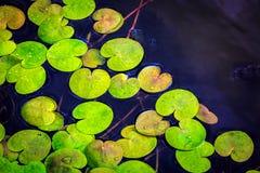 Το Driftweeds βγάζει φύλλα στην επιφάνεια νερού Στοκ Φωτογραφίες