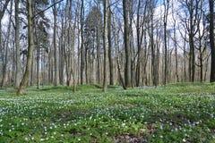 Το dubravny την άνοιξη ξύλο Anemonies αυξήθηκε Στοκ Εικόνες