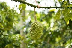 Το Durian ήταν τιμημένο για να είναι ο βασιλιάς των φρούτων Στοκ Εικόνες