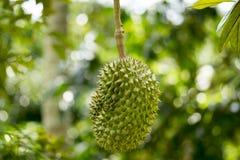 Το Durian ήταν τιμημένο για να είναι ο βασιλιάς των φρούτων Στοκ Φωτογραφία