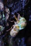 Το eclosion cicada Στοκ φωτογραφία με δικαίωμα ελεύθερης χρήσης