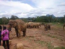 Το elephaant ορφανοτροφείο είναι pinnawala Στοκ εικόνες με δικαίωμα ελεύθερης χρήσης