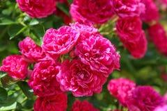 Το excelsa αυξήθηκε, θάμνος αναρριμένος στο λουλούδι, κλείνει επάνω στοκ φωτογραφίες με δικαίωμα ελεύθερης χρήσης