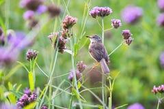 Το ferruginous flycatcher Muscicapa ferruginea είναι ένα είδος ο στοκ φωτογραφία με δικαίωμα ελεύθερης χρήσης
