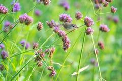 Το ferruginous flycatcher Muscicapa ferruginea είναι ένα είδος ο στοκ φωτογραφίες