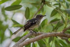 Το ferruginous flycatcher Muscicapa ferruginea στοκ εικόνα με δικαίωμα ελεύθερης χρήσης