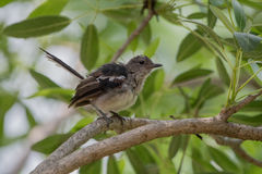 Το ferruginous flycatcher Muscicapa ferruginea Στοκ Φωτογραφίες