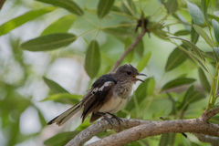 Το ferruginous flycatcher Muscicapa ferruginea Στοκ Εικόνες