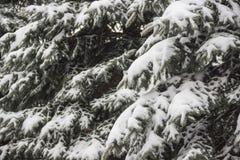 Το FIR κάτω από το χιόνι Στοκ Εικόνες