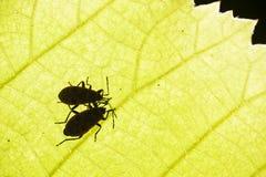 Το Firebug, apterus Pyrrhocoris, είναι ένα κοινό έντομο της οικογένειας Π Στοκ Εικόνες