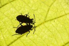 Το Firebug, apterus Pyrrhocoris, είναι ένα κοινό έντομο της οικογένειας Π Στοκ εικόνα με δικαίωμα ελεύθερης χρήσης