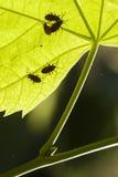 Το Firebug, apterus Pyrrhocoris, είναι ένα κοινό έντομο της οικογένειας Π Στοκ Εικόνα