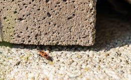 Το firebug, apterus Pyrrhocoris σε έναν τοίχο πετρών Στοκ εικόνες με δικαίωμα ελεύθερης χρήσης