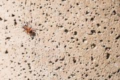 Το firebug, apterus Pyrrhocoris σε έναν τοίχο πετρών Στοκ Εικόνα