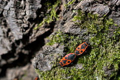 Το firebug, apterus Pyrrhocoris Στοκ φωτογραφία με δικαίωμα ελεύθερης χρήσης