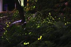 Το Fireflys στοκ φωτογραφίες