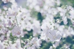 Το Floral θολωμένο υπόβαθρο, αναπηδά τα άσπρα λουλούδια Στοκ Φωτογραφία