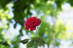 Το Floral υπόβαθρο, κόκκινο αυξήθηκε Στοκ Φωτογραφίες
