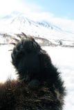 Το Forepaw Kamchatka καφετί αφορά στα πλαίσια του ηφαιστείου Kamchatka Στοκ Φωτογραφία