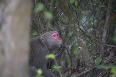 Το Formosan macaque στα βουνά της πόλης Kaohsiung, Ταϊβάν, κάλεσε επίσης τα cyclopis Macaca στοκ φωτογραφίες