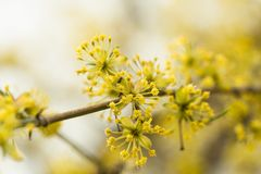 Το Forsythia ανθίζει το χρυσό κουδούνι, σύνορα Forsythia Forsythia Χ intermedia, ο Μπους κήπων europaea ανθίζοντας την άνοιξη, ήλ Στοκ Φωτογραφία