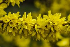 Το forsythia συνόρων είναι ένας διακοσμητικός αποβαλλόμενος θάμνος προέλευσης κήπων Λουλούδια Forsythia μπροστά από με την πράσιν στοκ εικόνες