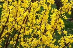 Το forsythia συνόρων είναι ένας διακοσμητικός αποβαλλόμενος θάμνος προέλευσης κήπων Λουλούδια Forsythia μπροστά από με την πράσιν στοκ φωτογραφίες
