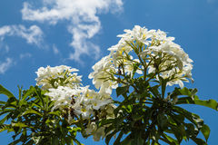 Το Frangipani ανθίζει το λευκό Στοκ Φωτογραφίες