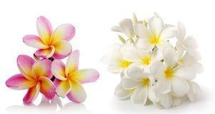το frangipani λουλουδιών απομόνωσε το λευκό Στοκ Φωτογραφίες